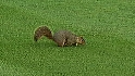 Squirrel in the outfield