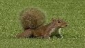 Squirrel visits the field