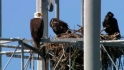 Bald eagle at the ballgame
