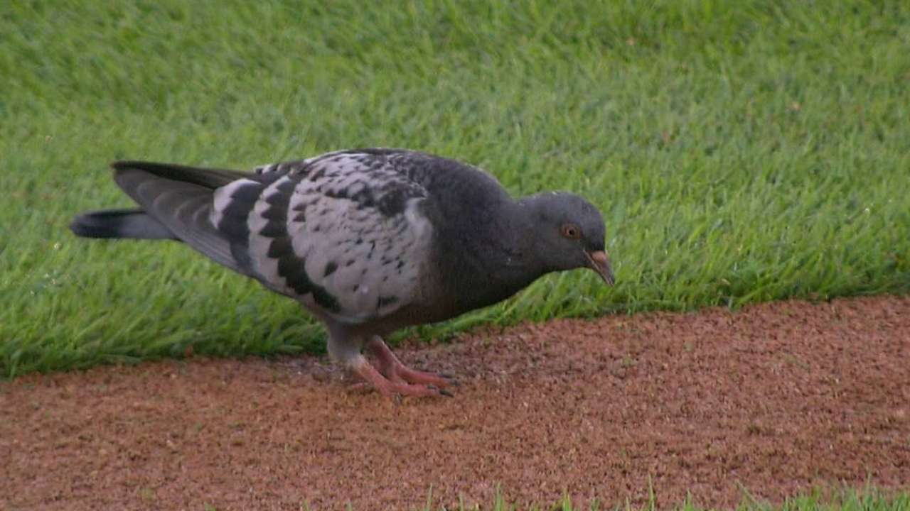 Pigeons interrupt Miggy's at-bat at Comerica