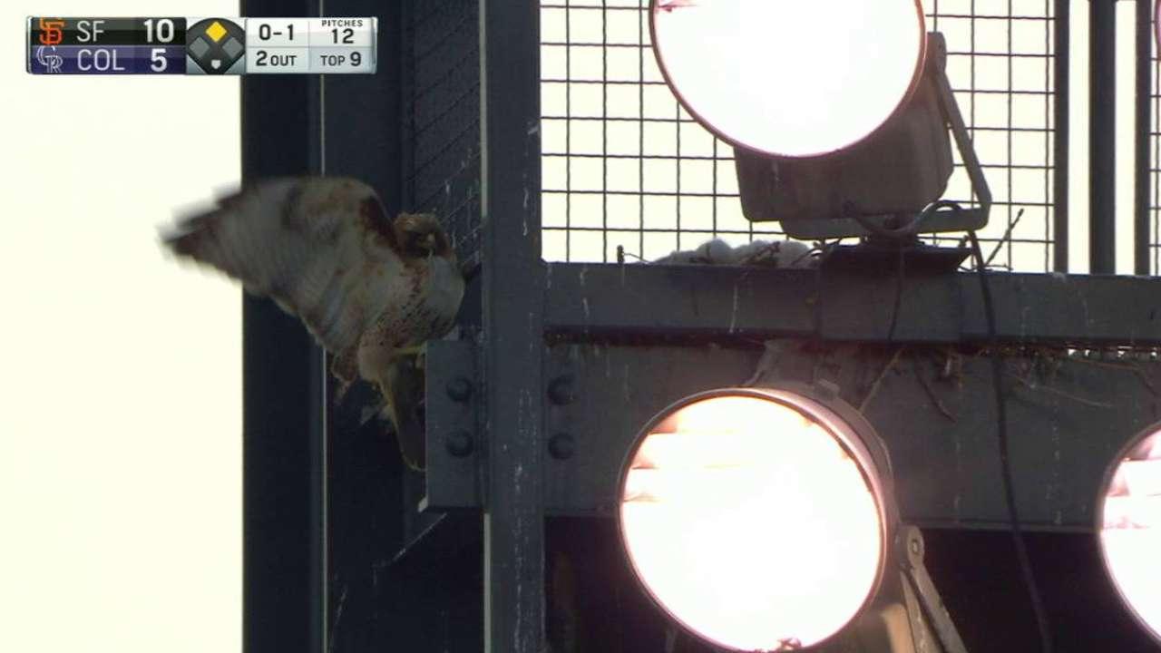 Baby hawks take in some baseball