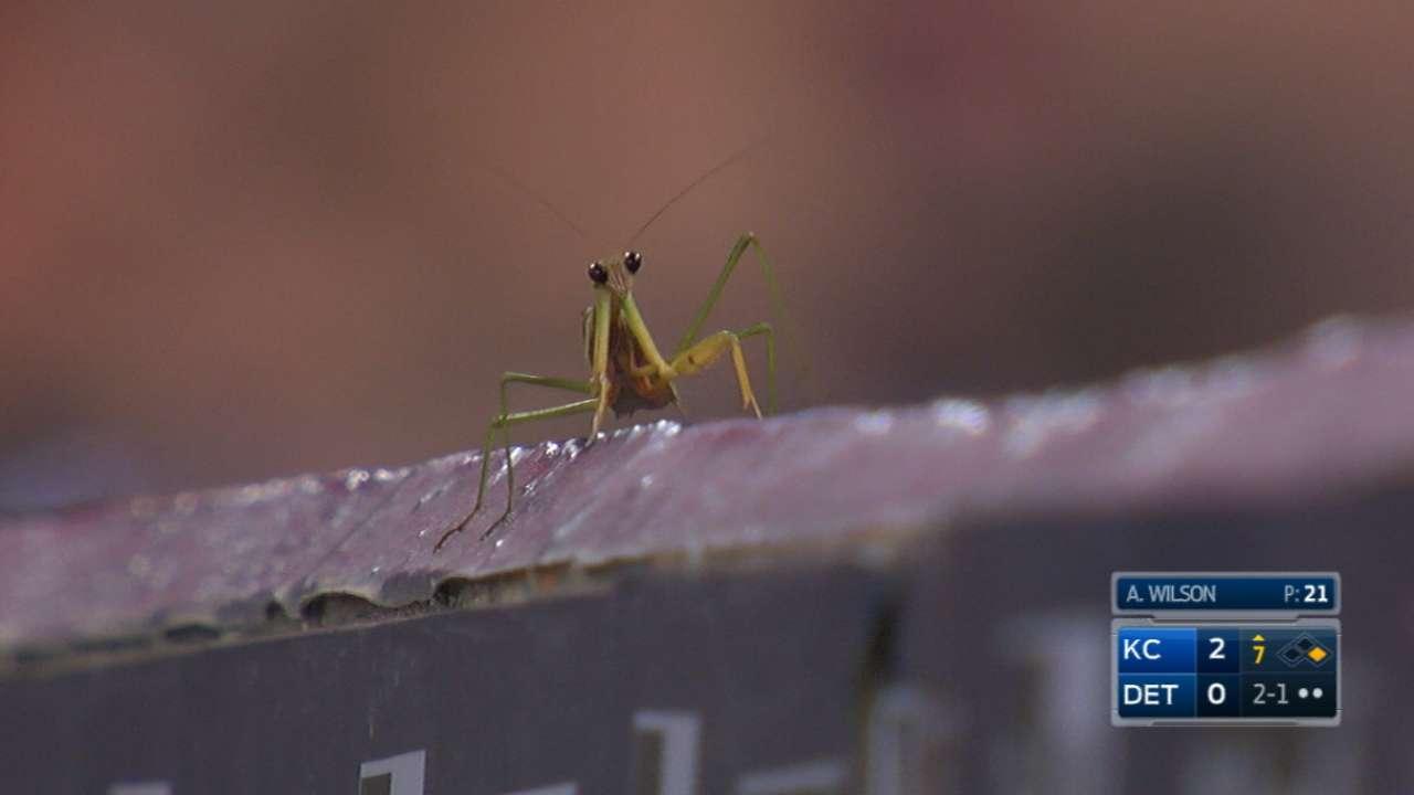 New praying mantis joins Royals