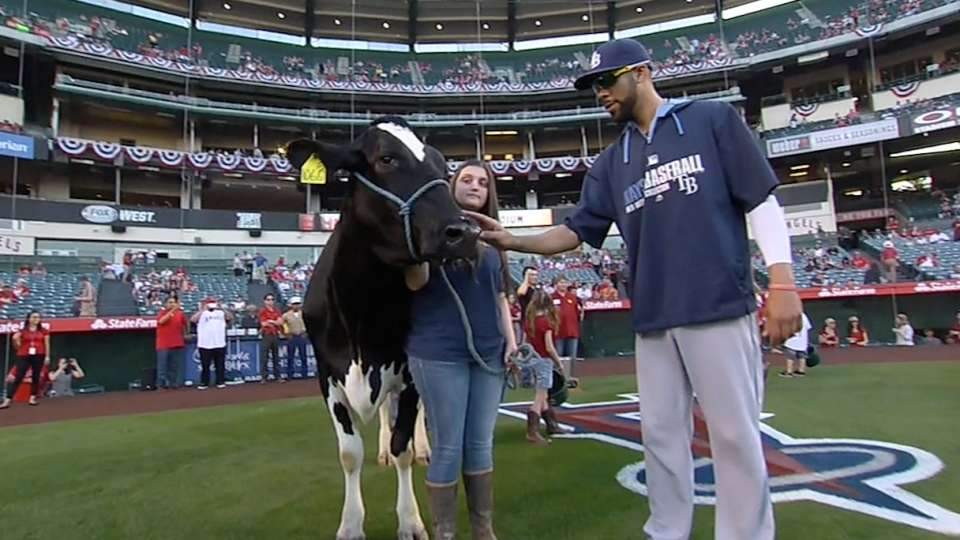 Angels' cow-milking event